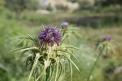 Flowers in UmmQais
