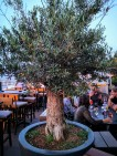 District - Olive Tree
