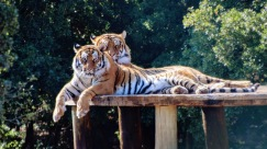 Tigers from Bengladesh