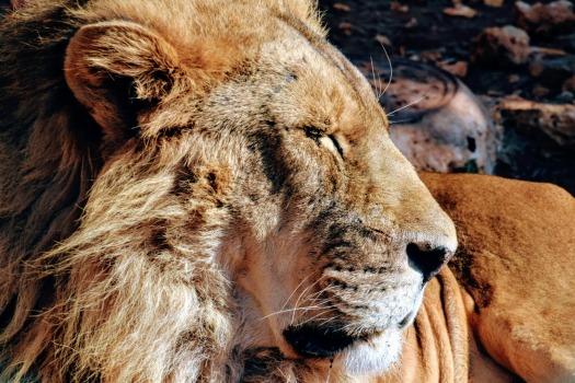 Lion in Ma'wa Wildlife Sanctuary